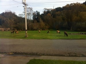 Elk outside Cabin in the Redwood Forest